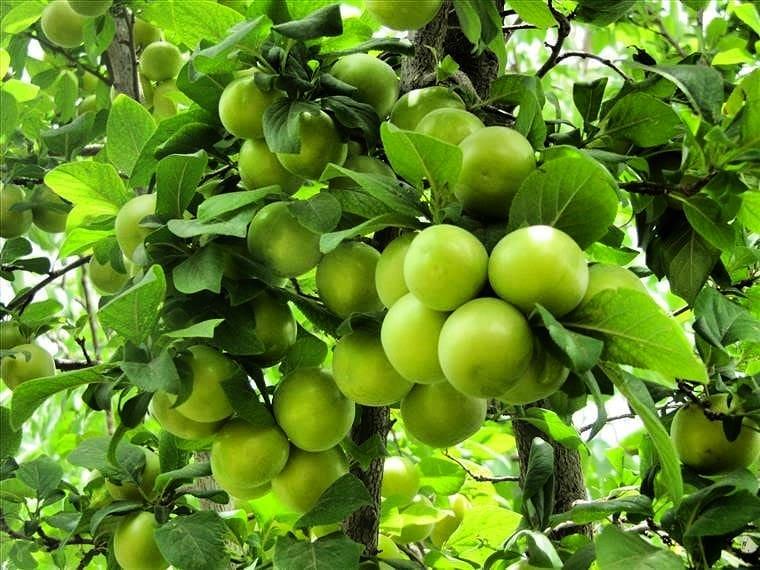 عکس درخت گوجه سبز