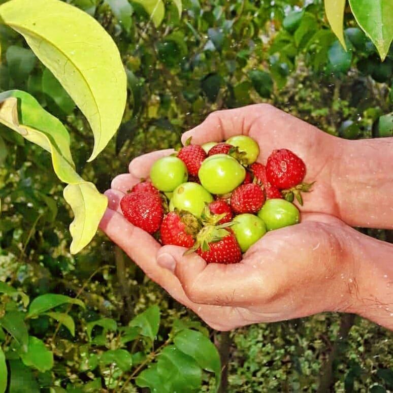 مشت پر گوجه سبز و توت فرنگی